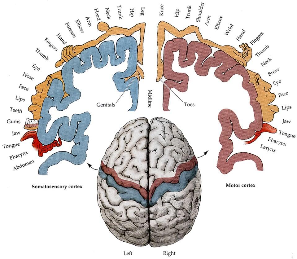 Homunculus ruchowy (ugóry polewej) ihomunculus czuciowy (ugóry poprawej)